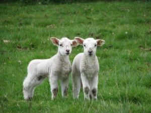 Twin_lambs_-_geograph.org.uk_-_455848